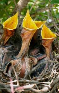 Mockingbird Chicks